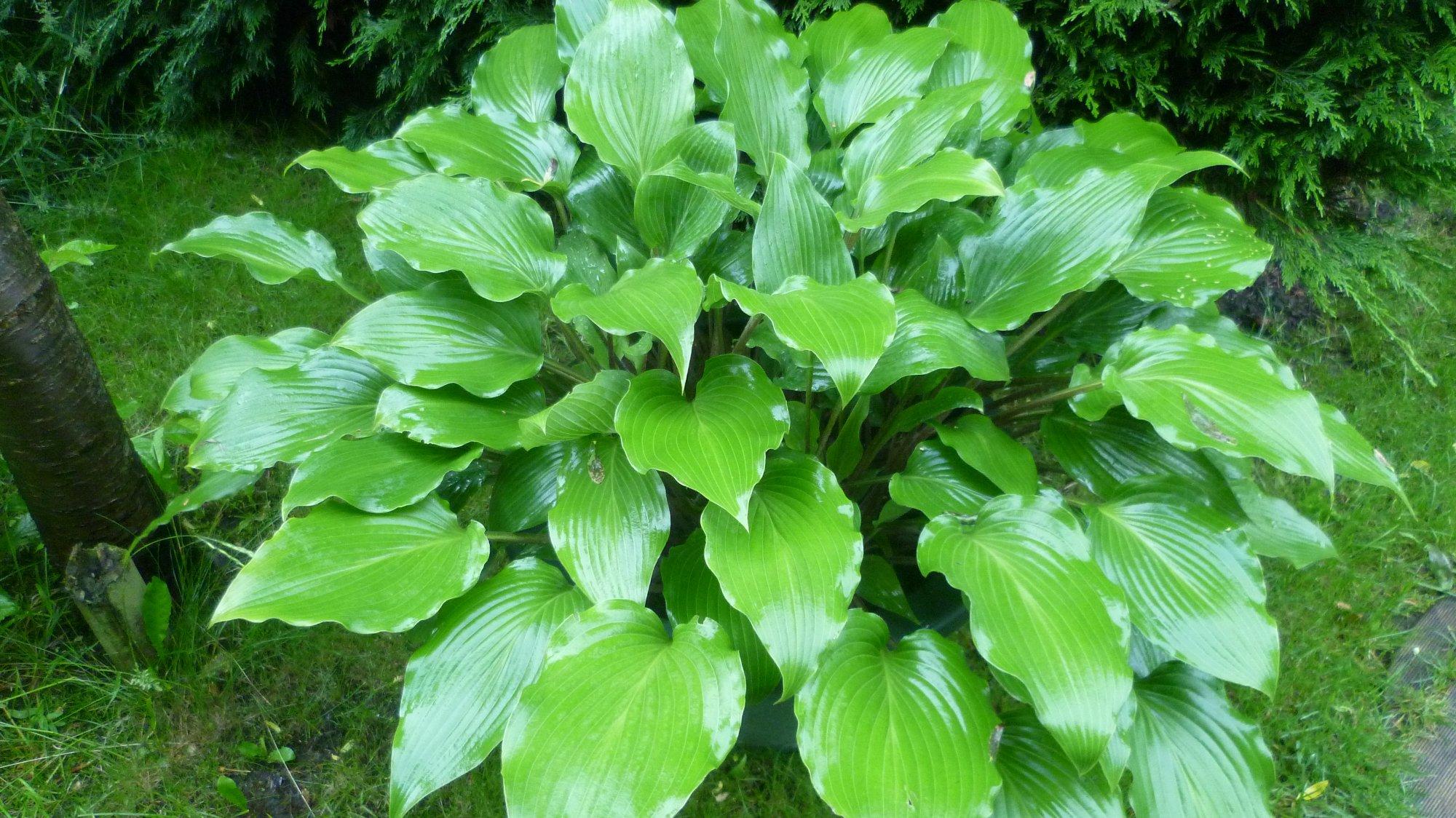 pycnophylla (Setouchi Giboshi)